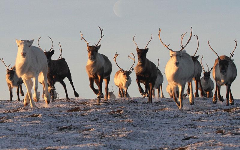 Cairngorm Reindeers