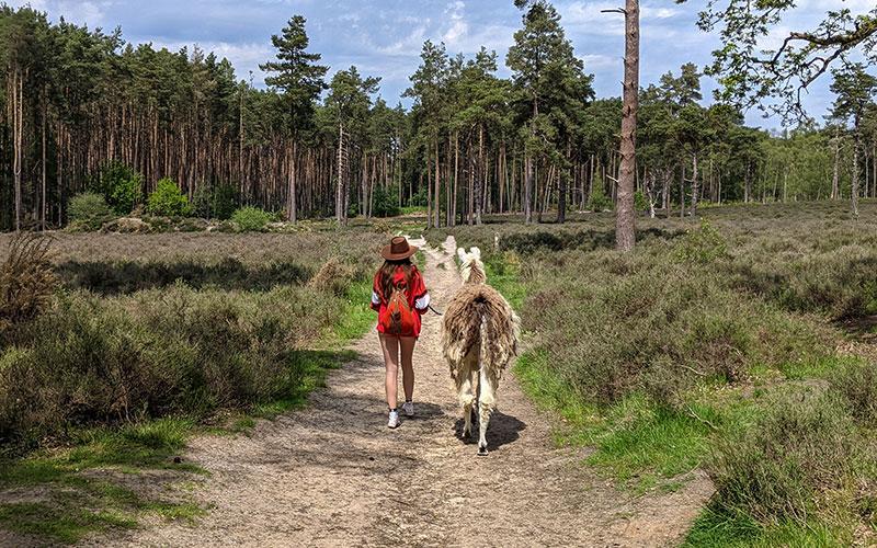 Llama trekking in Surrey Hills. Autumn Stay.
